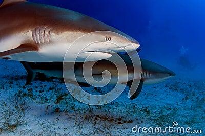 Rafowi Caribbean rekiny