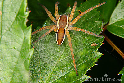Raft spider (Dolomedes fimbriatus) 2
