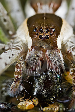A raft spider with prey - a jumping spider