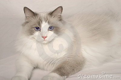 Rag Doll Cat