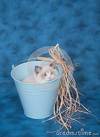 Ragdoll in a bucket on blue