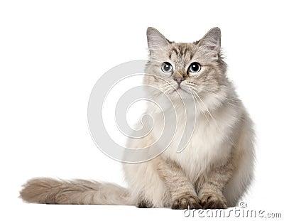 Ragdoll cat, 10 months old, sitting