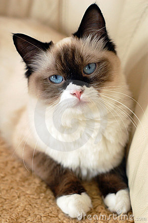Free Ragdoll Cat Royalty Free Stock Image - 14717946