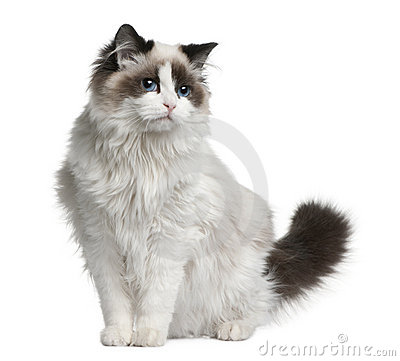 Ragdoll cat, 7 months old