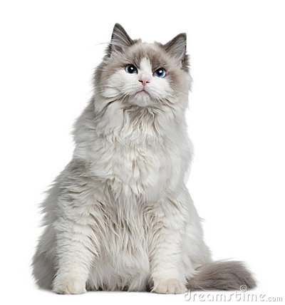 Free Ragdoll Cat, 7 Months Old Royalty Free Stock Photography - 13667767