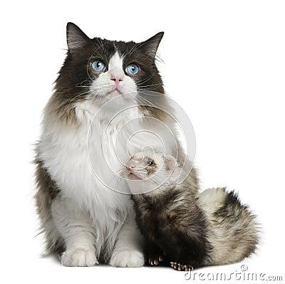 Ragdoll cat and a ferret