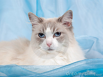 Maine Coon Kittens For Sale Seattle Ragdoll fighters code ...