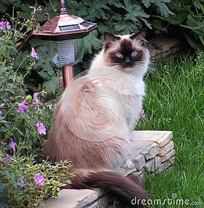 Free Ragdoll Cat - Pops Stock Photo - 244170