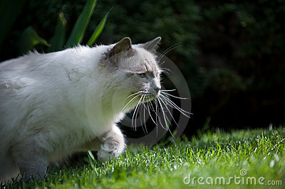 Ragdoll cat on the prowl