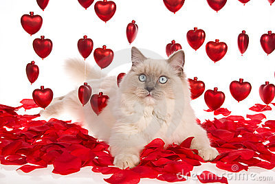 Ragdoll cat with red rose petals and red hearts