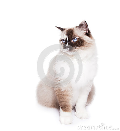Ragdoll Cat on White