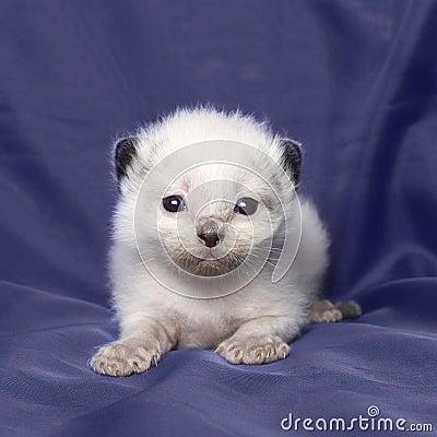 Ragdoll kitten 3 weeks old