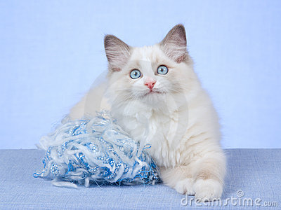 Ragdoll kitten with blue ball of knitting wool