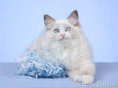 Ragdoll kitten with blue ball of knitting wool
