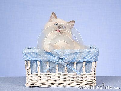 Ragdoll kitten in gift box on blue background