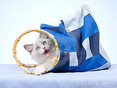 Ragdoll kitten inside blue bag