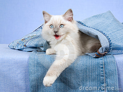Ragdoll kitten inside leg of jeans denims