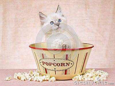 Ragdoll kitten inside popcorn bowl