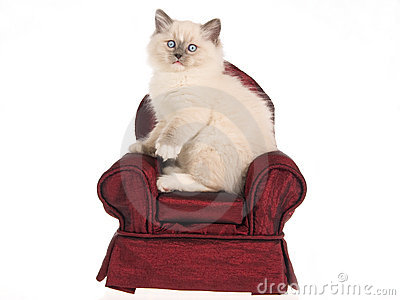 Ragdoll kitten sitting on burgundy mini chair