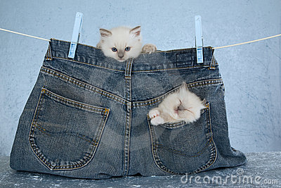 Ragdoll kittens in pocket of pants