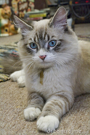 Ragdoll mix kitten