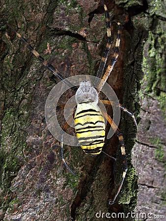 Ragno della vespa