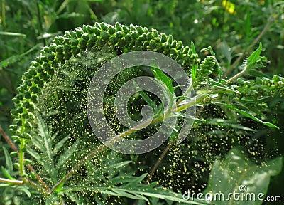 Ragweed (Ambrosia artemisiifolia) pollen release