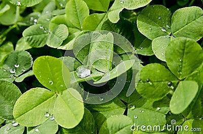 Rain drop on clover