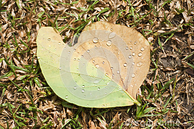 Rain drop on teak leaf.