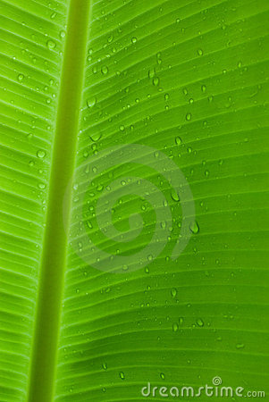 Rain drops on a banana leaf