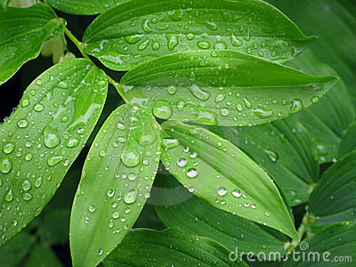 Rain-drops on leaves