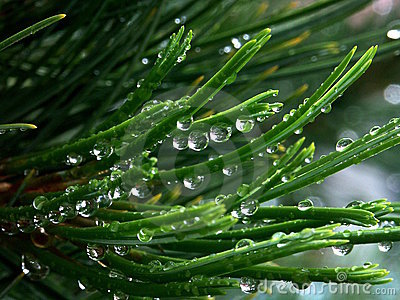 Rain drops a needles