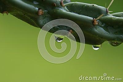Rain Drops off Cactus