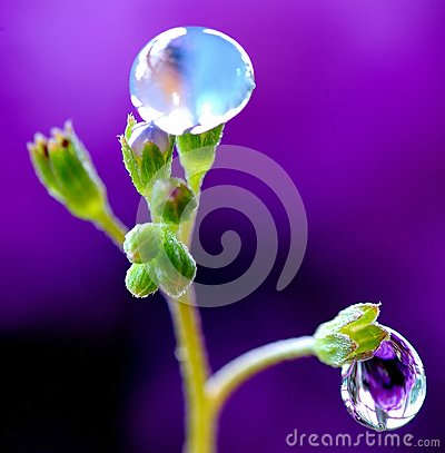 Free Rain Drops On The Delicate Buds Of The Forget-me-not Royalty Free Stock Images - 111480799