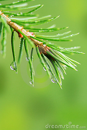Rain drops on pine branch