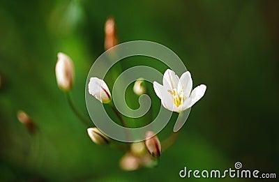Rain-Lily