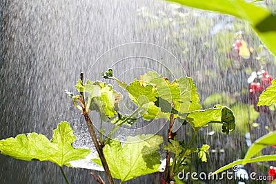 Rain over the bush