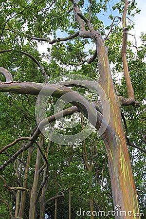 Rainbow Eucalyptus Tree Closeup