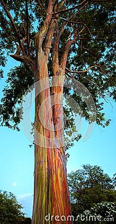 hawaiian rainbow eucalyptus tree royalty free stock photos