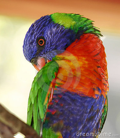 Free Rainbow Lorikeet Stock Image - 72421