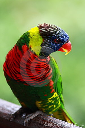 Free Rainbow Lorikeet Royalty Free Stock Photography - 7889947