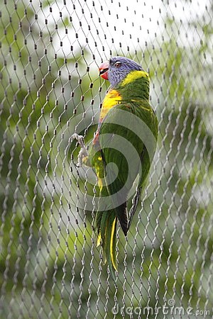 Rainbow Lorikeet Holding On Gauze Royalty Free Stock Photography - Image: 15239207