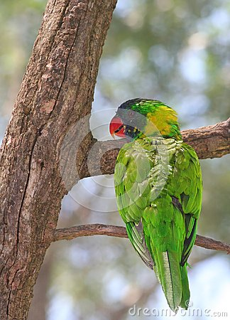 Rainbow Lorikeet smiling on the tree