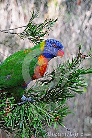 A Rainbow Lorikeet in a tree