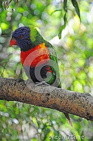 A Rainbow Lorikeet in a tree