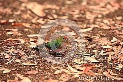 Rainbow Lorikeet,West Australia