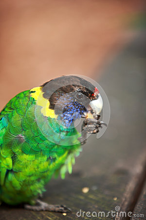 Rainbow Lorikeet,West Australia