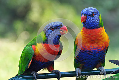 Rainbow Lorikeets Gold Coast Australia