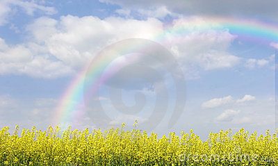 Rainbow over field with yellow flowers
