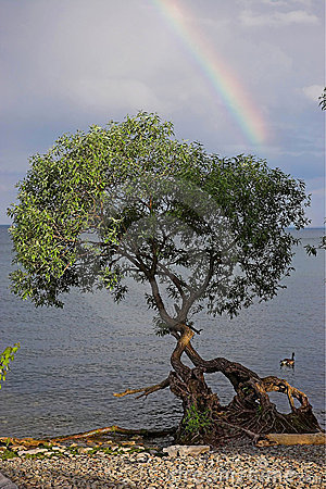 Rainbow over tree by lake